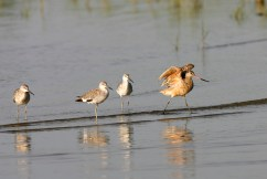 Marbled Godwit and a pair of Willets