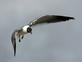 Laughing Gull with its long, graceful wings