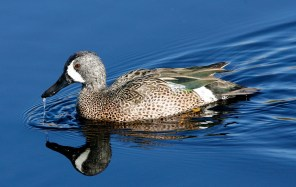 Water pours from the bill of a dabbling Teal
