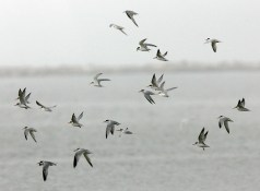 A flock of Least Terns