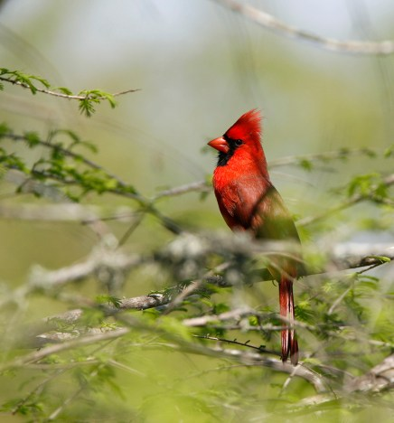 Cardinal in a low tree at the Rookery