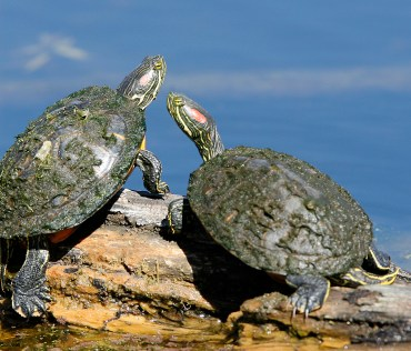 Turtles on Elm Lake