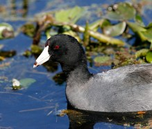 American Coot with its distinctive forehead and banded beak