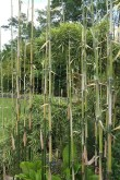 Bamboo in the front garden