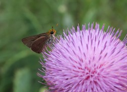 Skipper butterfly on Texas Thistle