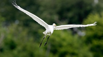 Great Egret arriving at the Rookery