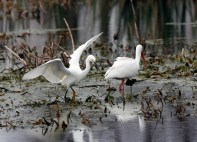 Foraging with a White Ibis