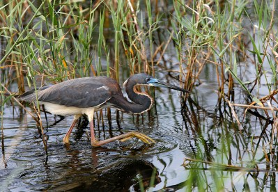 Tri-colored Heron stalking prey in the wetlands at Anahuac National Wildlife Refuge