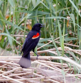 Singing among the reeds