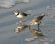 Piping Plover with Sanderling in Galveston