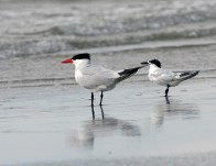 Sandwich Tern in the company of a Caspian Tern