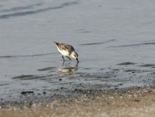 Sanderling exploring the sand