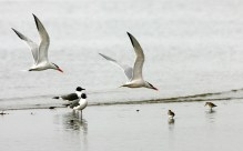 Royal Terns swooping along the beach above a couple of Laughing Gulls