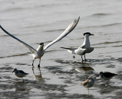 Sandwich Tern taking flight
