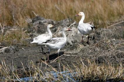 Three Snow Geese at San Bernard Wildlife Refuge