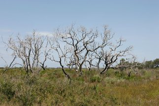 Silvery trees on the savannah
