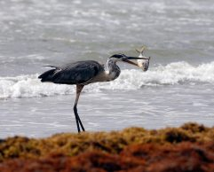 Great Blue Heron finds a meal
