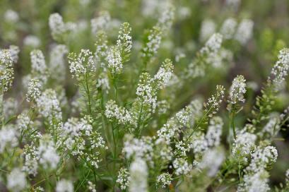 Pepper Grass