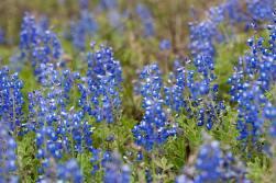 Bluebonnets on the prairie
