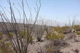 A grove of octillo cactus