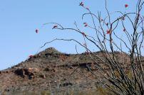 Octillo cactus along the trail