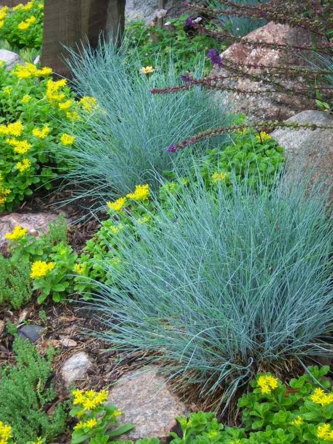 Geeignete Pflanzen fr Steingarten der Blauschwingel