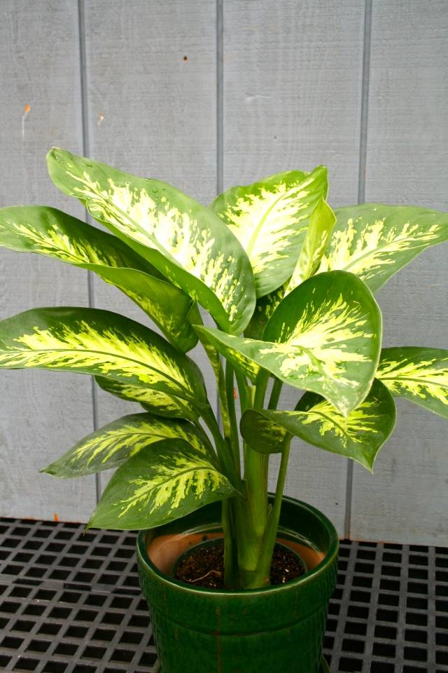 Zimmerpflanzen Pflege  Welche Pflanzen gut zu Ihrem Haus