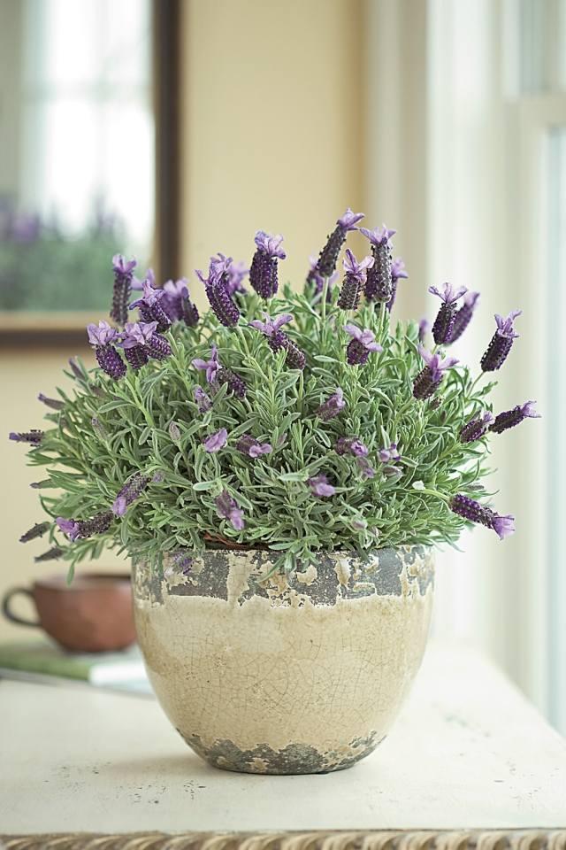 Lavendel pflanzen  Tipps zur richtigen Pflege im Garten oder im Topf