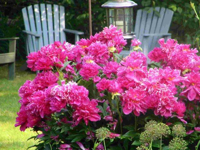 Tipps rund um die Pfingstrose Pflege  Pflanzen und Schneiden