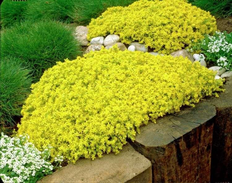 steingarten steingarten pflanzen gelbe pflanzen pflanzen blumen, Gartenarbeit ideen