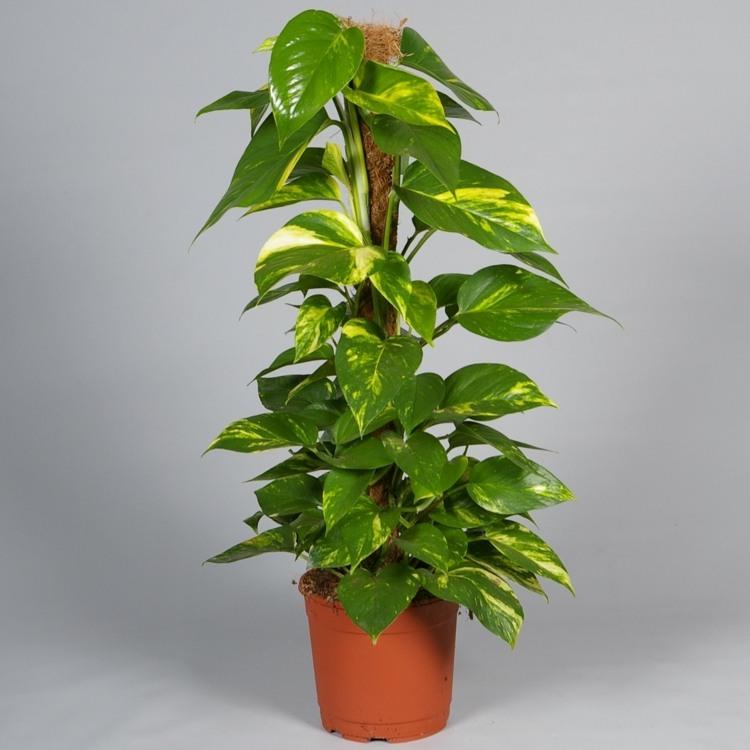 Zimmerpflanzen fr wenig Licht  21 grne und blhende Arten