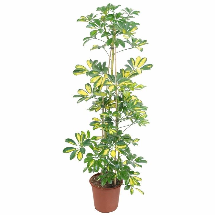Zimmerpflanze Hoch Schmal  Wohndesign