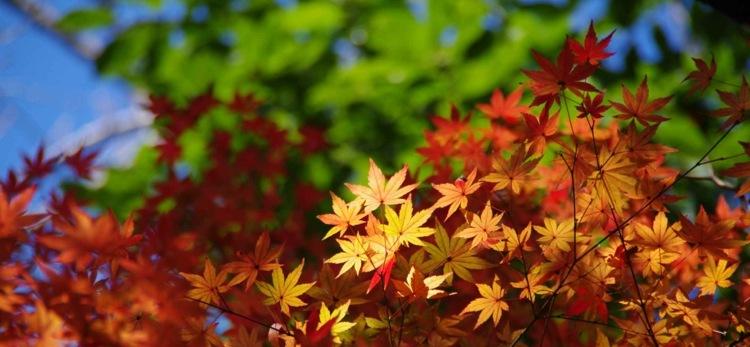 Fall Wallpaper Japan Japanischer Ahorn Im Garten Arten Die Direkte Sonne