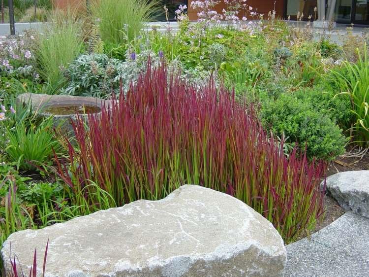 Japanisches Blutgras Im Garten Pflanzen Ein Feuerroter Akzent