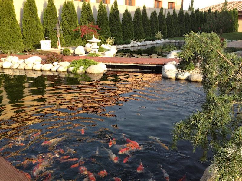 bassin a poisson carpes koi les