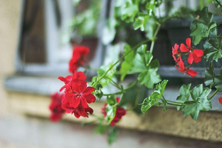 Plantes Anti Moustiques Une Slection Aussi Parfume Que