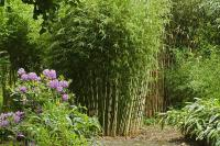 Clumping bamboo landscape  privacy screen and decoration ...