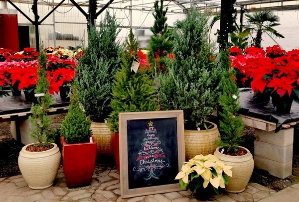 How to choose a real Christmas tree and keep it fresh and