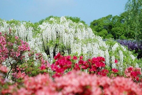 wisteria vine patio landscape