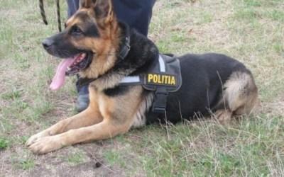 Poliția Bacău scoate la licitație trei ciobănești germani