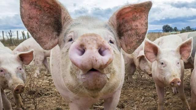 Timişul, din nou în pericol iminent de pestă porcină africană