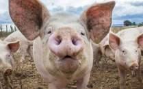 Atentie la carnea de porc!