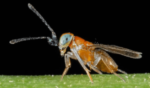 Anagyrus pseudococci ( parasitaria )