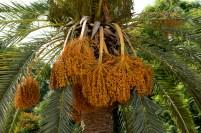 花園內的椰棗樹