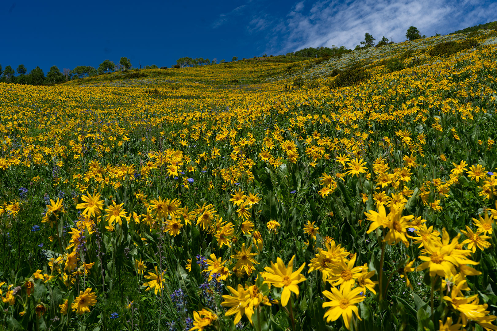 Crested Butte wildflowers.
