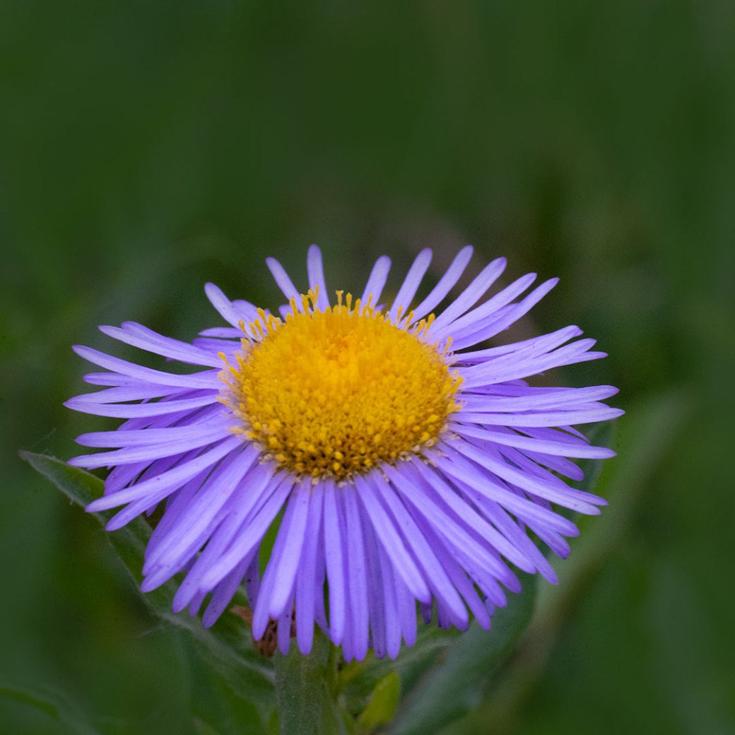Smooth Aster - Colorado wildflowers. Image by Debbie Devereaux Photography
