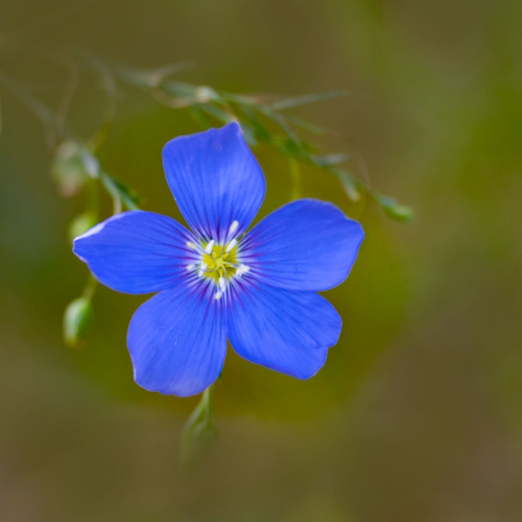 Blue flax wildflower - Copyright Debbie Devereaux Photography