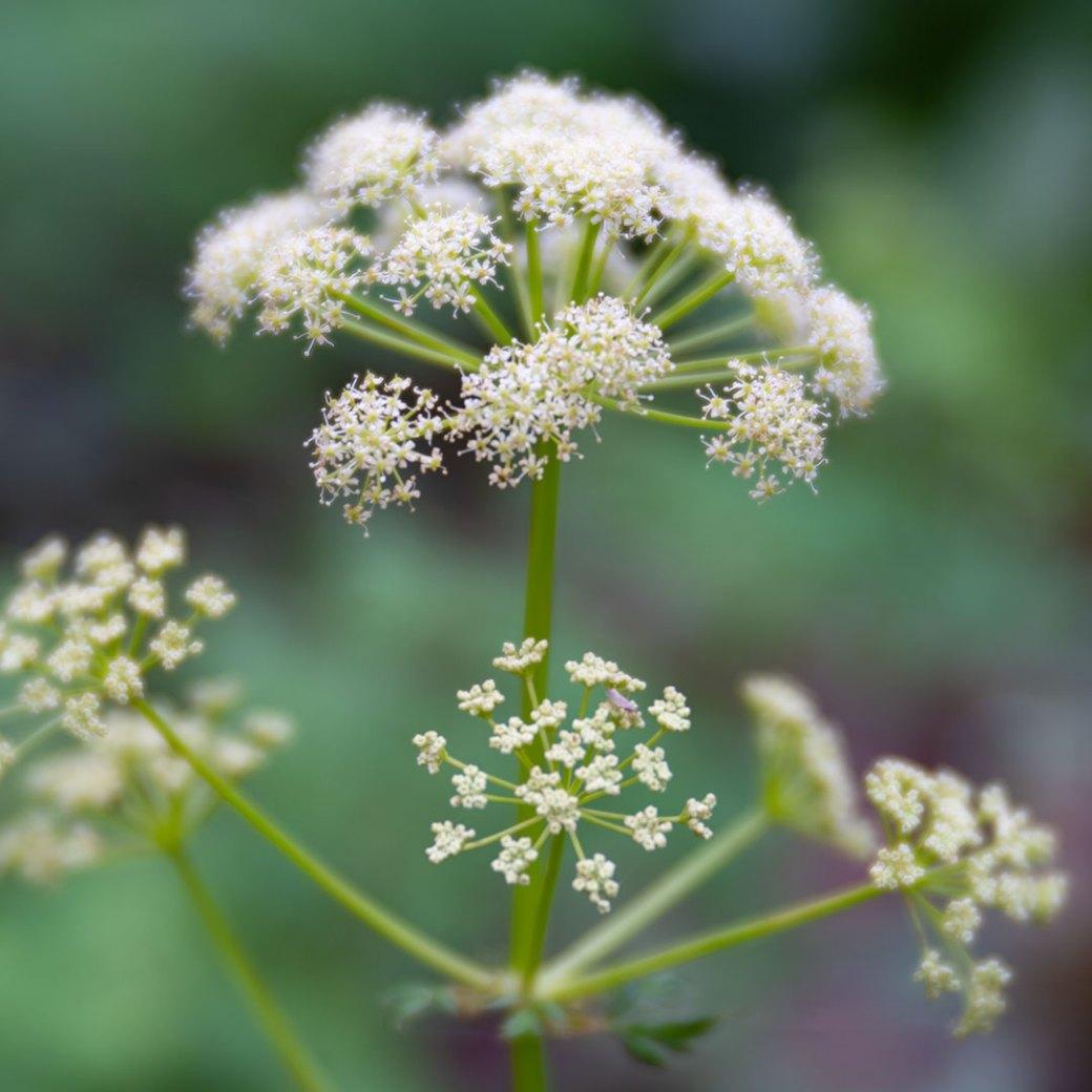 Osha wildflower - Copyright Debbie Devereaux Photography