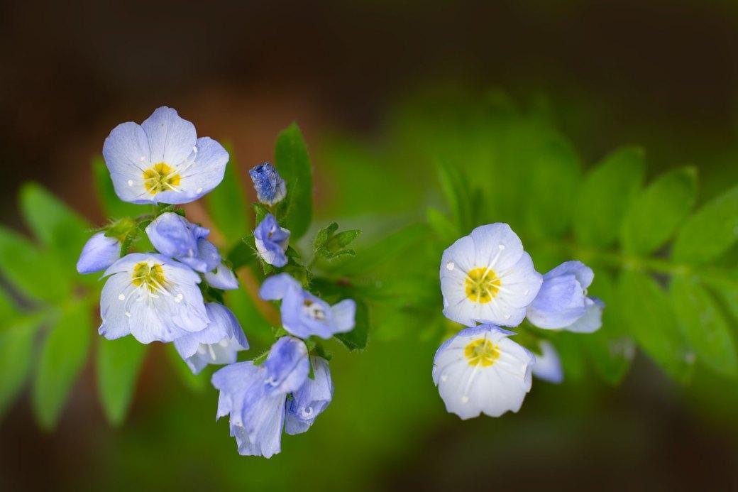 Jacob's Ladder wildflower - Copyright Debbie Devereaux Photography