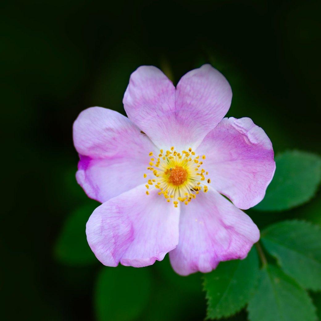 Wild rose - Copyright Debbie Devereaux Photography